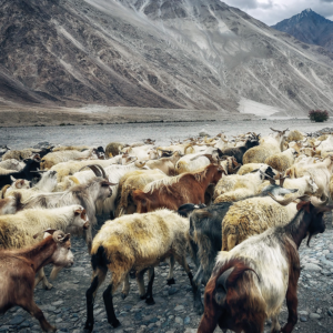 Let's talk about goats: Boosting India's goat sector could double rural incomes